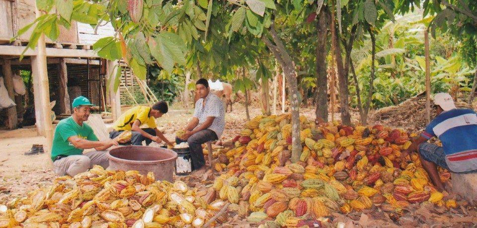 Proyecto Andino de Cacao
